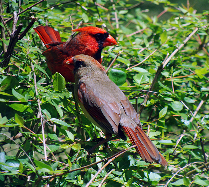 Male, female cardinal in bush.