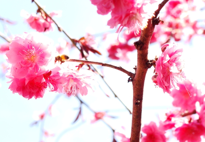 Bee among the peach blossoms.
