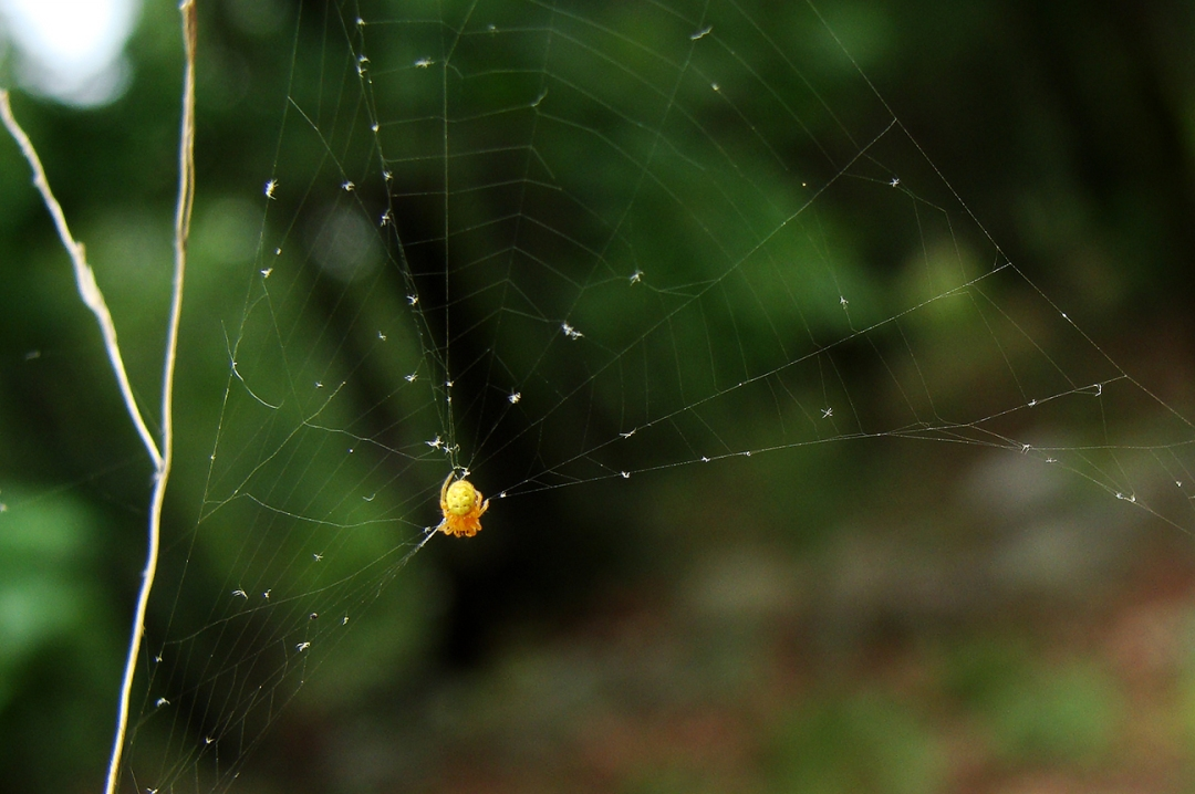 Tiny yellow spider.