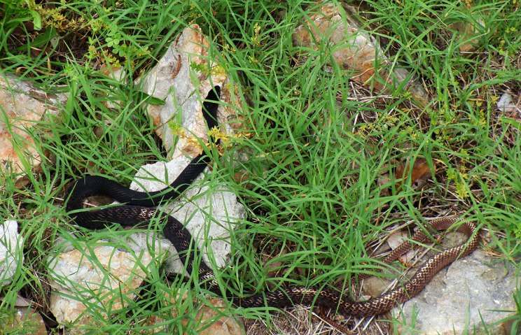 Eastern coachwhip.