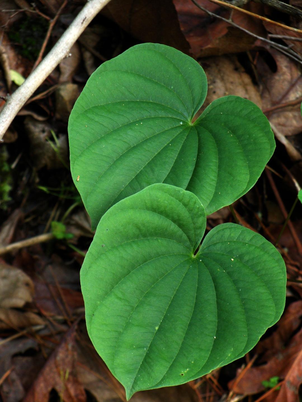 heart-shaped leaves.