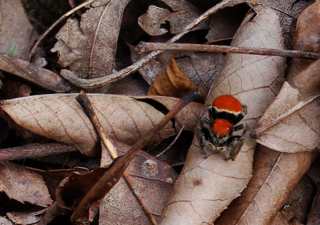 Red jumping spider.