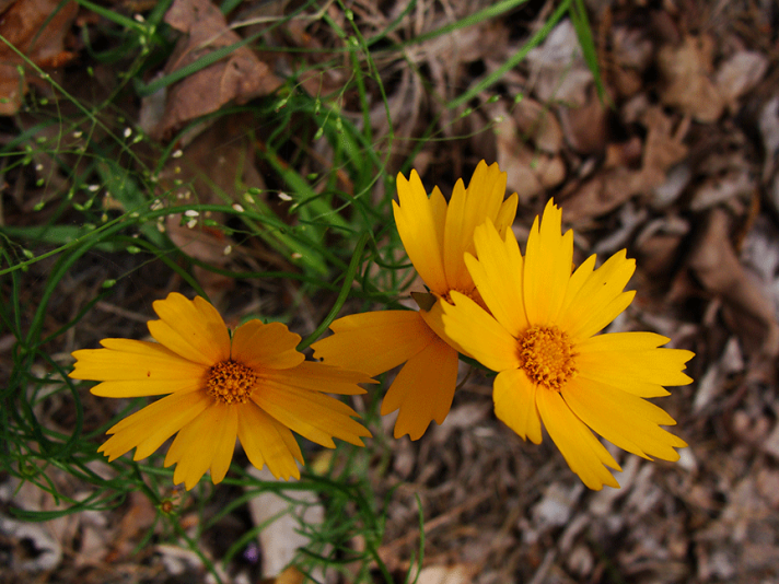 Three coreopsis flowers.