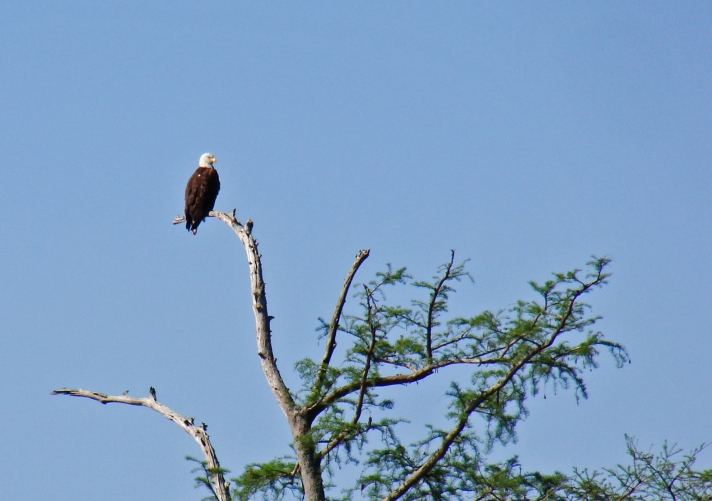 Bald eagle in cypress.