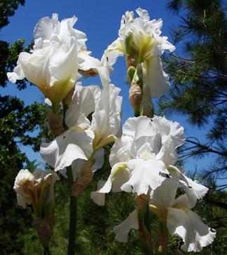White irises.