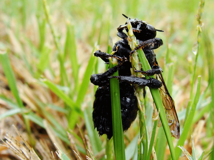 Carpenter bee clasping blades of grass.