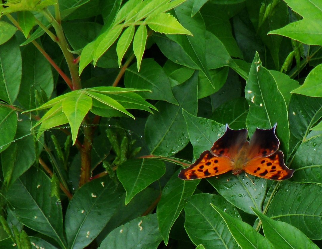 Question mark butterfly.