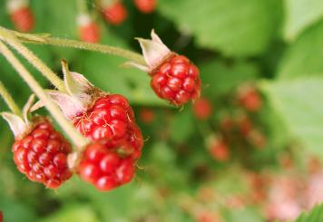 Red blackberries