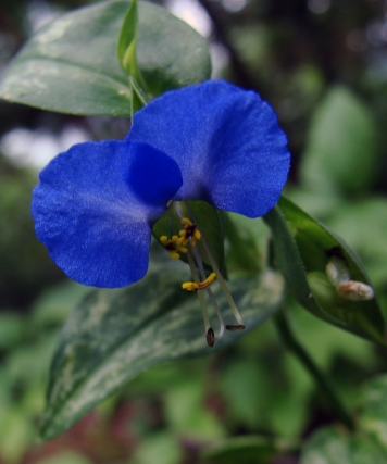Dayflower with its stunning cobalt petals.