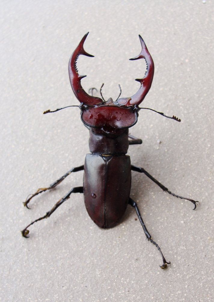 "Beetle with ""antlers."""