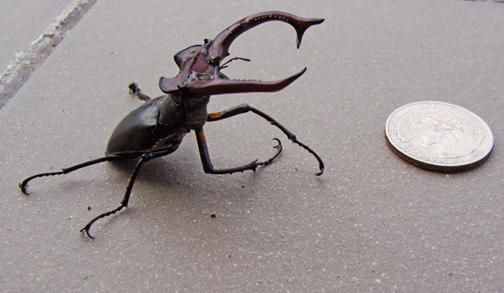 Beetle compared to a quarter.