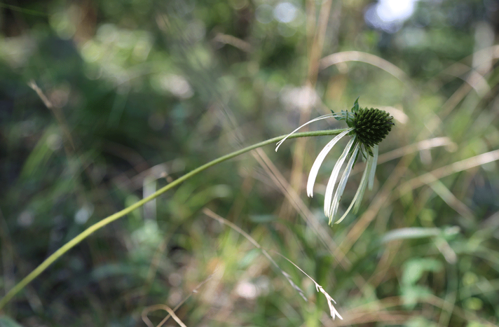 pale coneflower