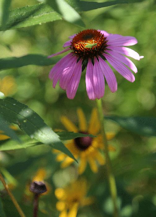 Purple coneflower.
