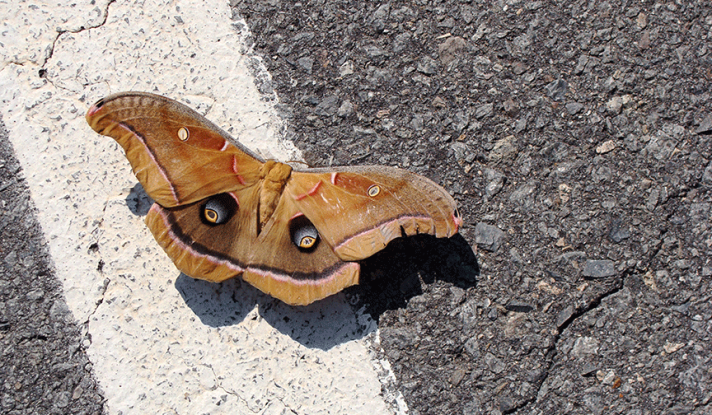 Big moth on parking lot stripe.