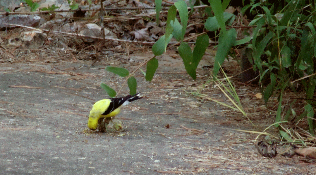 Goldfinch eating seed.