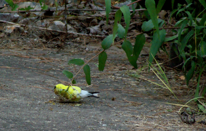 Goldfinch eating seeds.