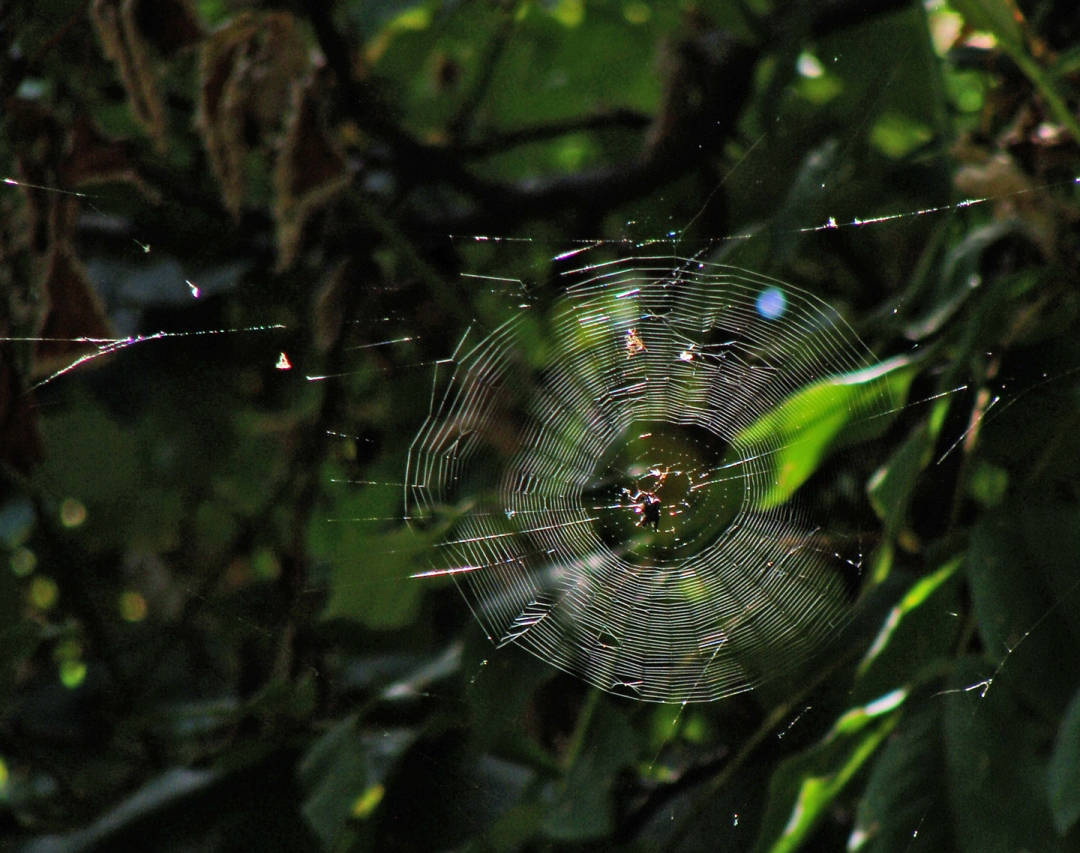 Orb spider web backlit.