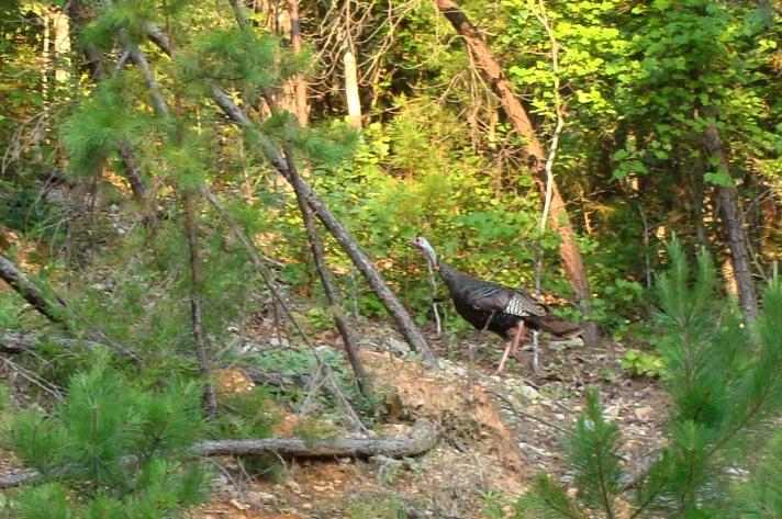 Wild turkey on the run.