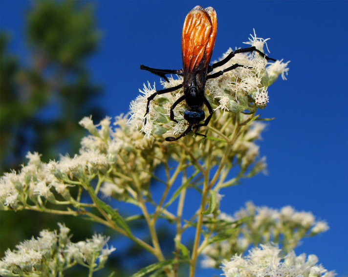 Tarantula Hawk wasp.
