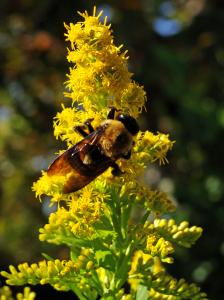 Carpenter bee in goldenrod.