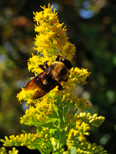 Carpenter bee in goldenrod.