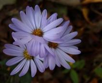Purple asters.