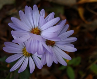 Purple asters.