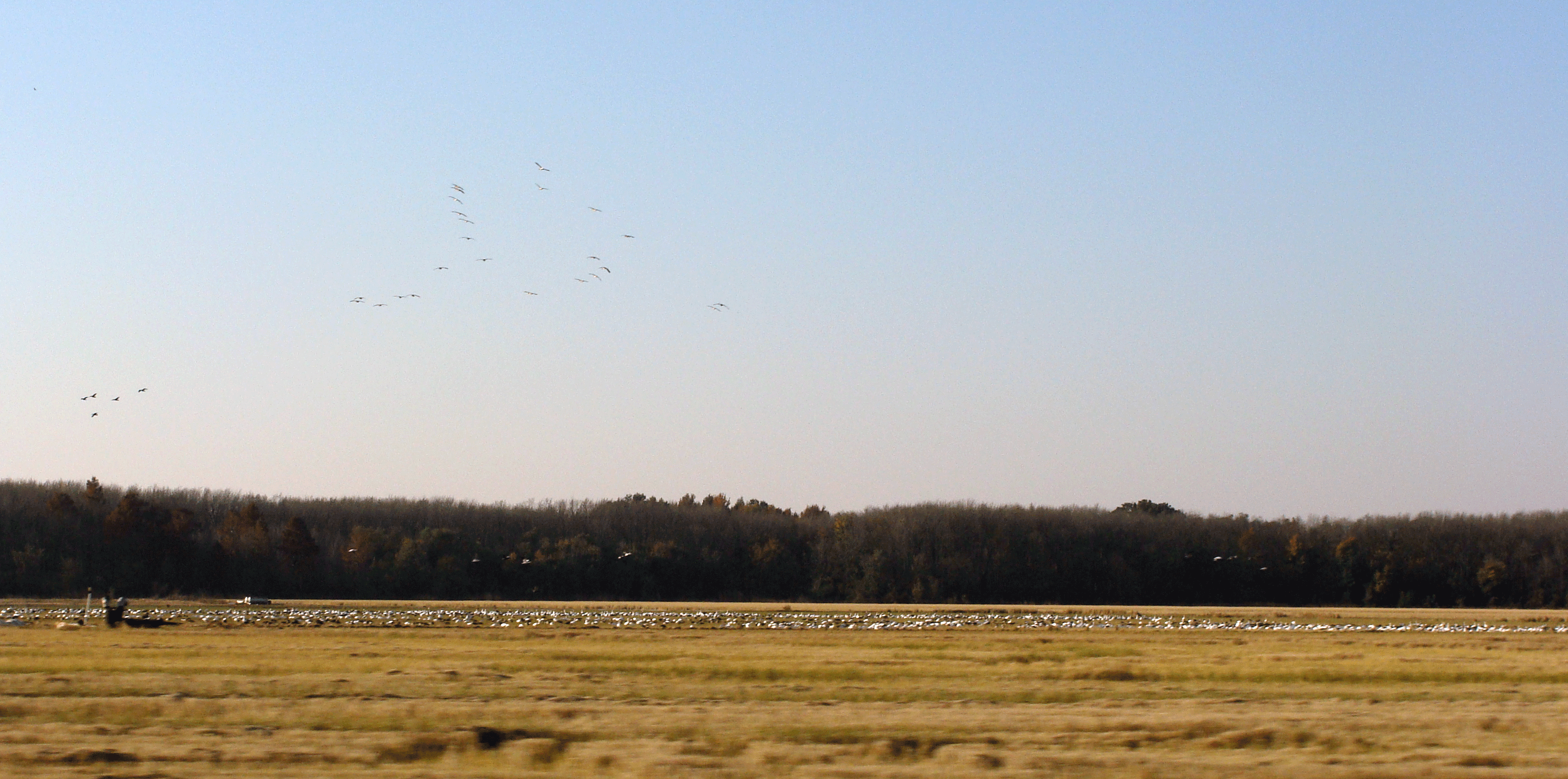 Geese in rice field.