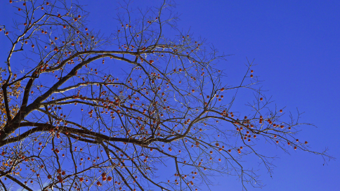 Persimmons on bare branches.