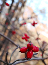 red dogwood berries.