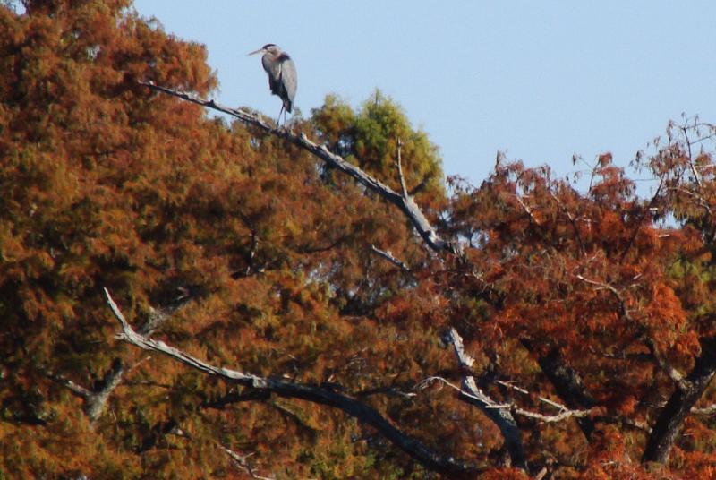 Bue heron in tree.