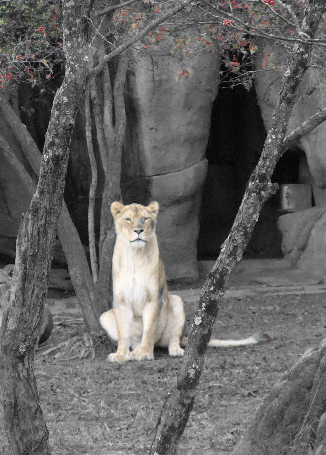 Lioness at the zoo.