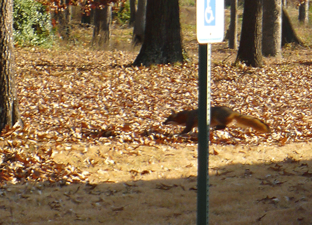 Fox near a parking lot.