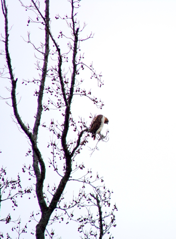 Hawk in tree.