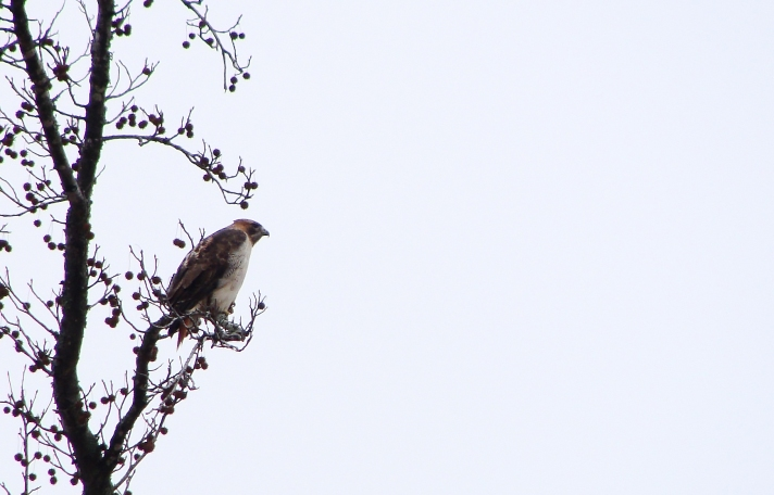 Red-tailed hawk in a tree.