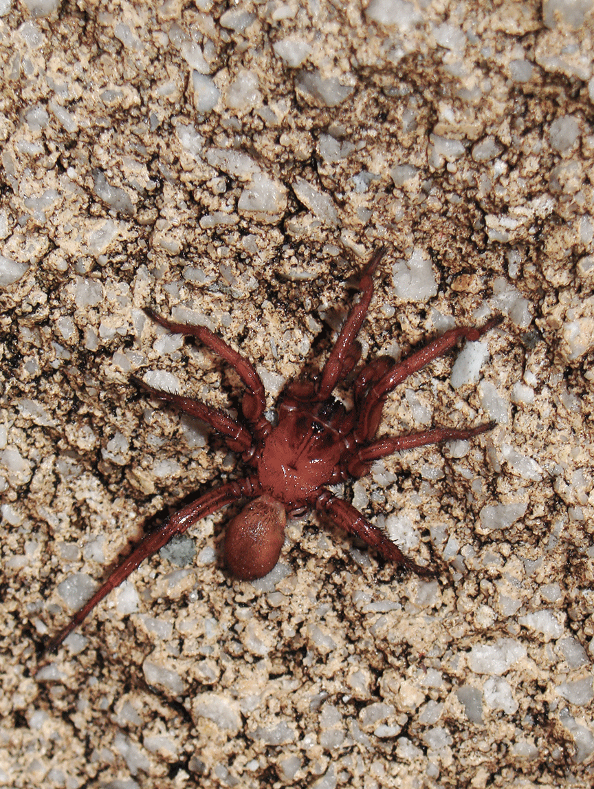 Red spider on concrete brick.