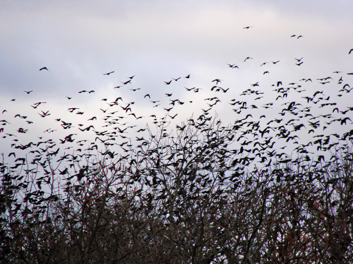 Thousands of birds in branches.
