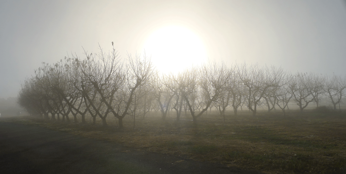 Peach trees in the mist.