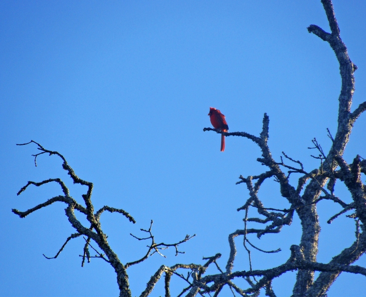Cardinal in branches of a tree.
