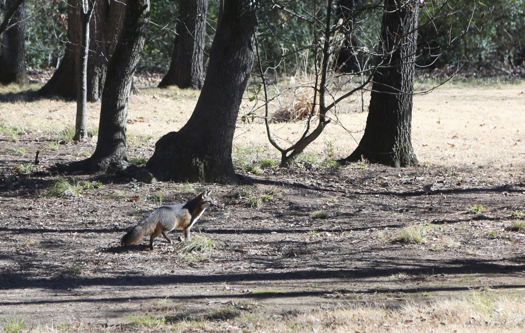 Bold fox on a lunchtime stroll