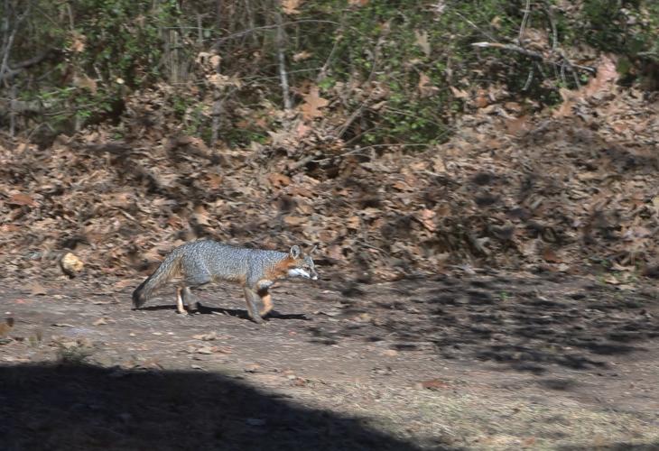 Little fox in winter livery