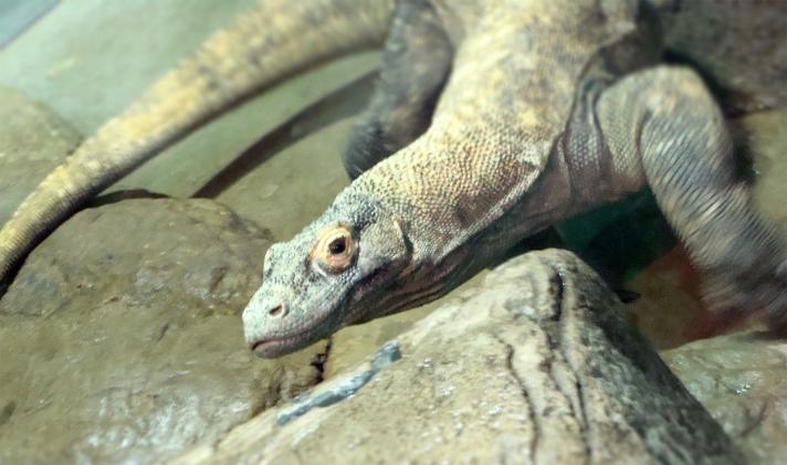 Komodo dragon in exhibit.