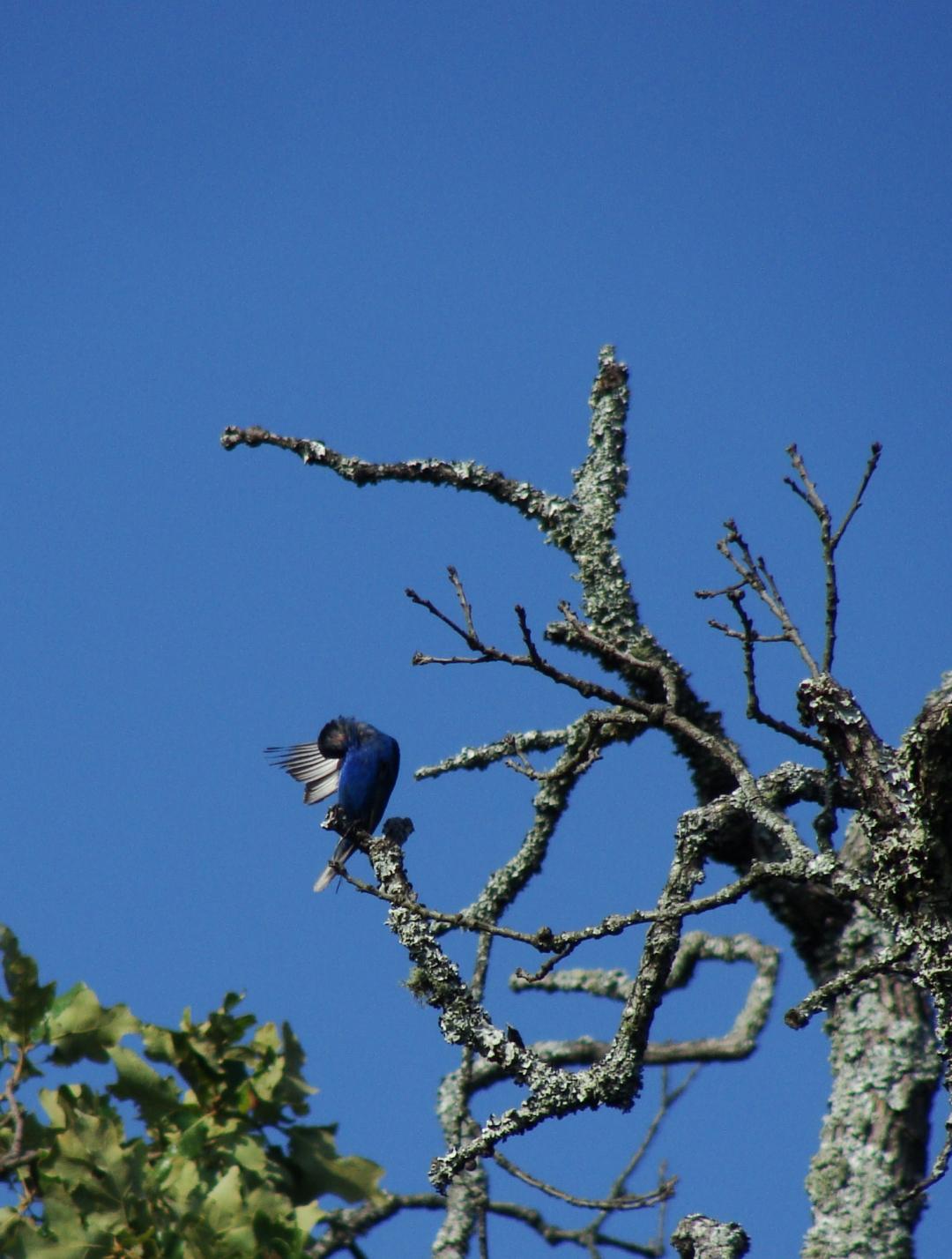 Indigo bunting in tree.