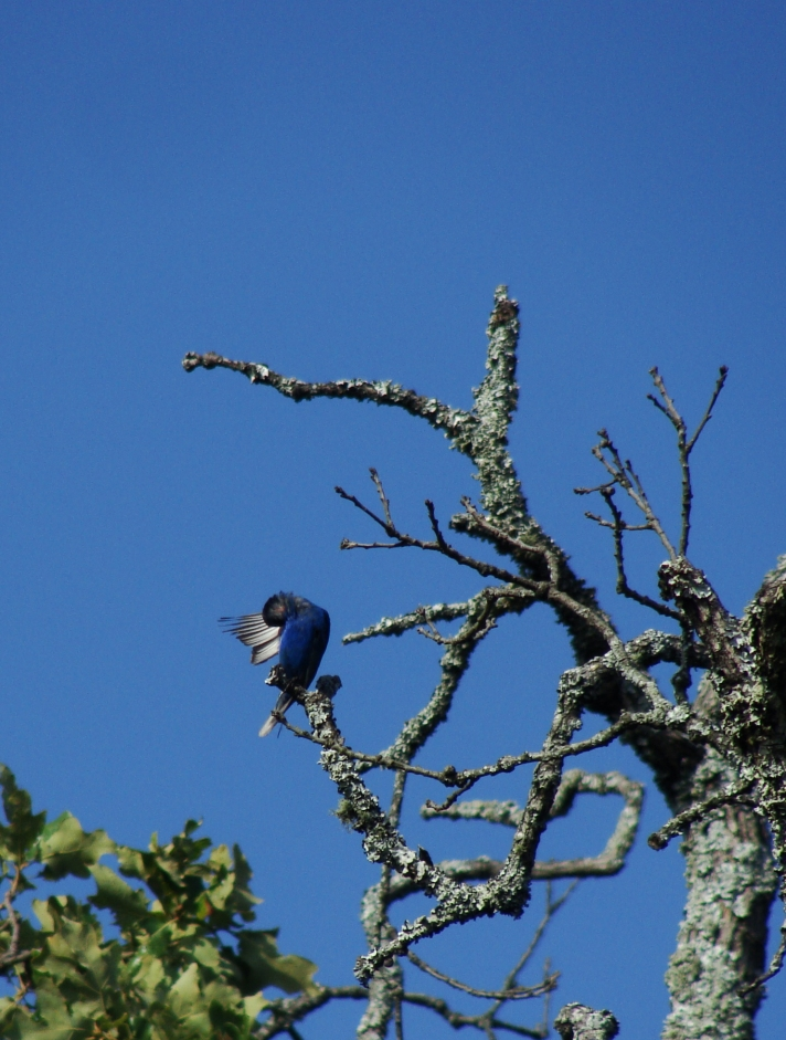 Indigo bunting in tree.