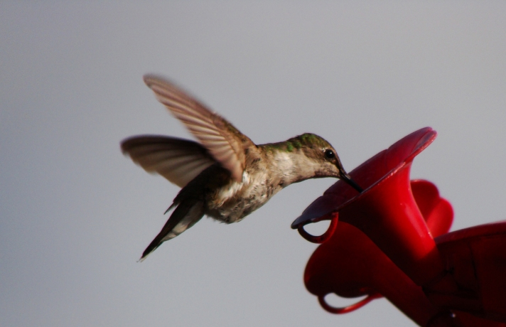 Hummingbird at feeder.