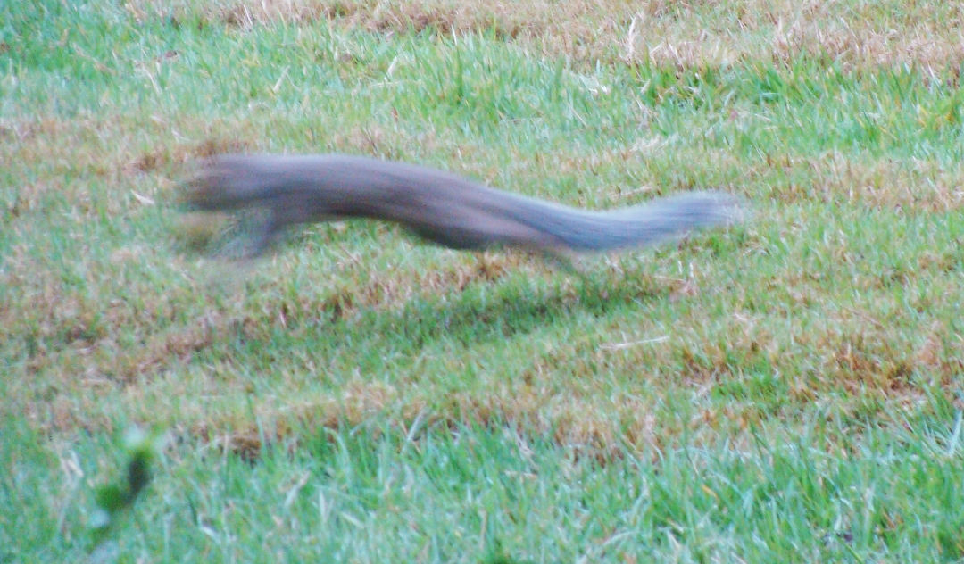 Squirrel leaping with nut.
