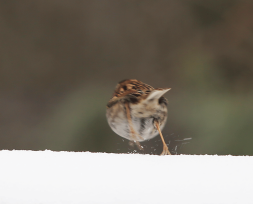 Sparrow running takeoff