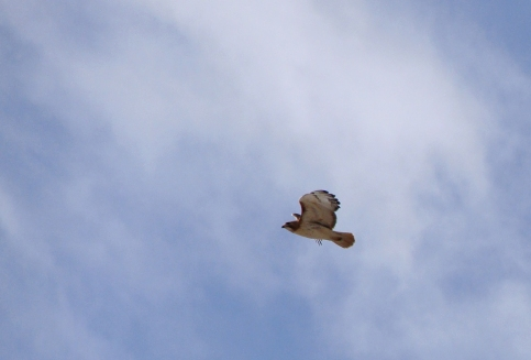 red-tailed hawk against wispy clouds
