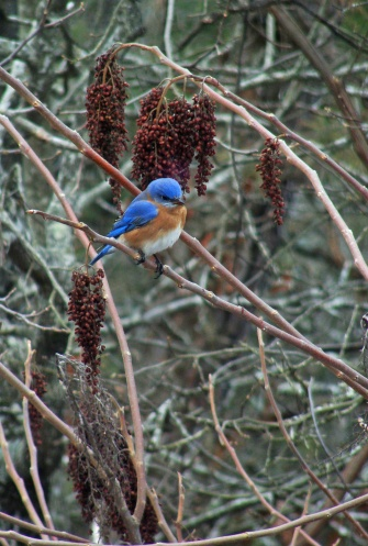 Bluebird in wintry sumac