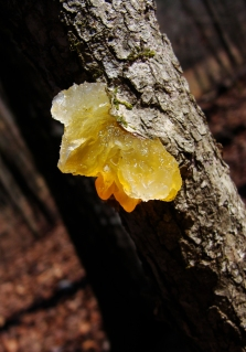 Orange and clear jelly fungus.